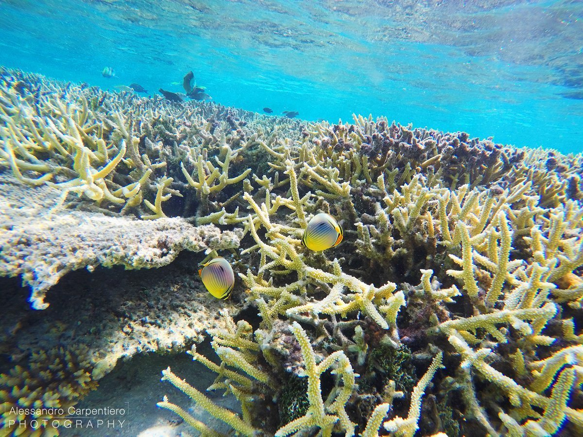 corals in maldives