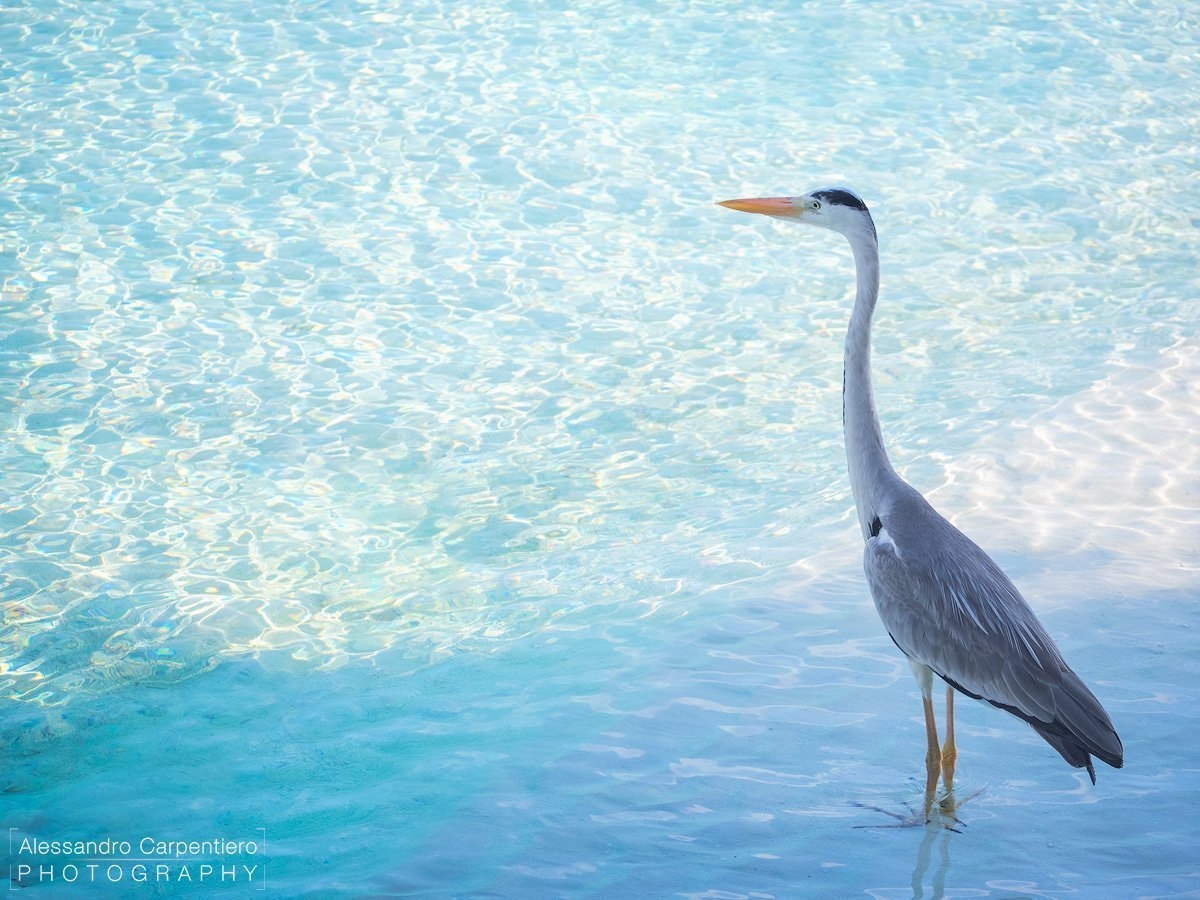 grey heron maldives