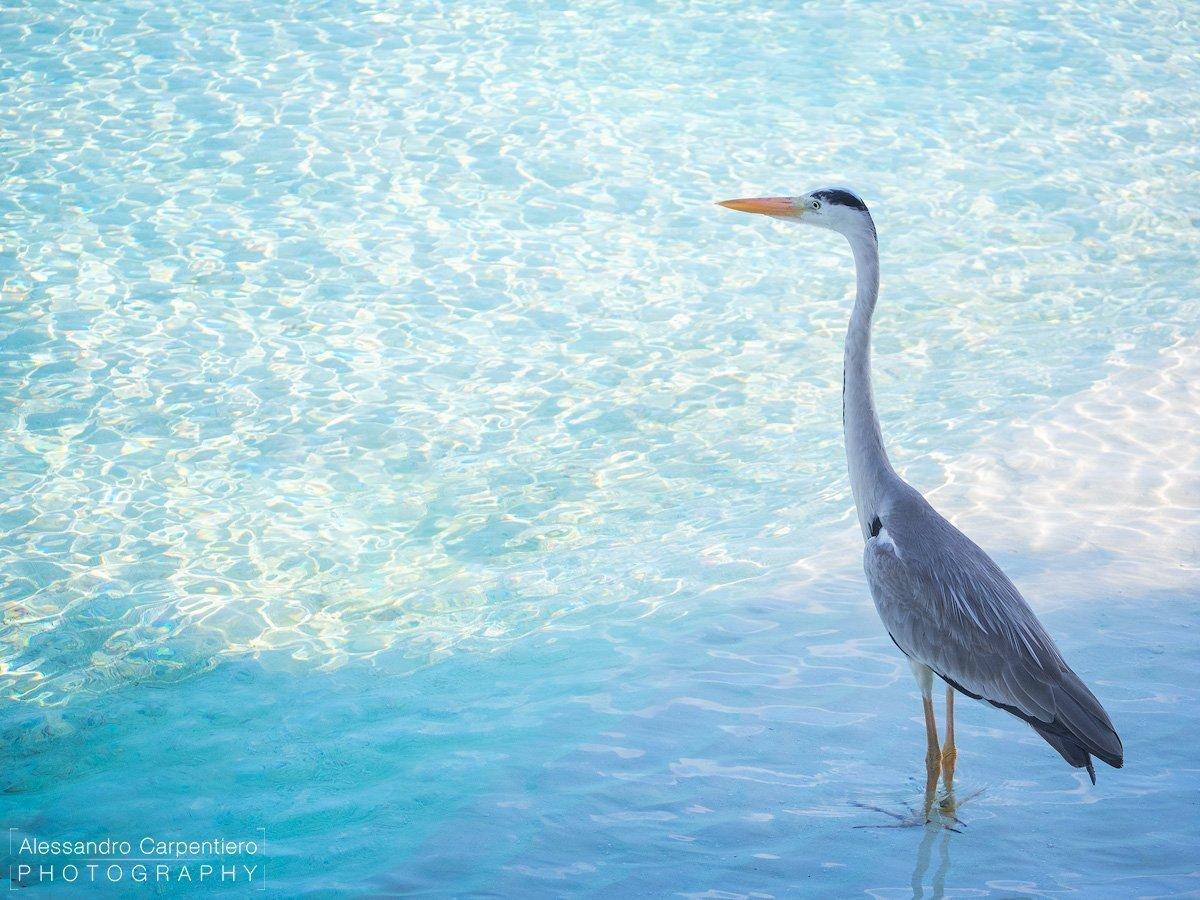 airone grigio maldive